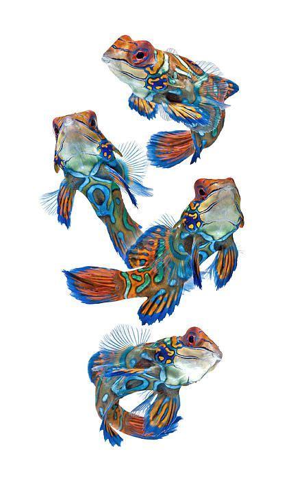 mandarin fish  visarute angkatavanich mandarin fish