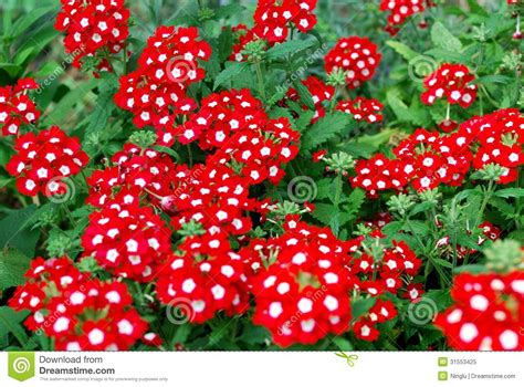 imagenes de flores verbenas flores rojas hermosas de la verbena en un jard 237 n imagen de