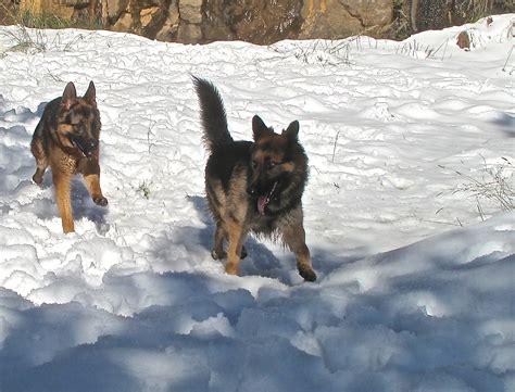 how to a guard german shepherd german shepherd guard www imgkid the image kid has it