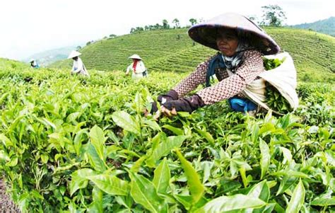 agrowisata perkebunan teh gunung gambir pesona