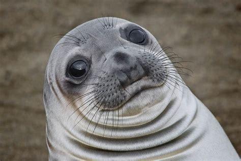 Awkward Seal Meme Generator - awkward moment meme seal foto bugil bokep 2017
