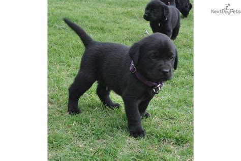 lab puppies for sale in oklahoma beautiful akc lab puppies breeds picture