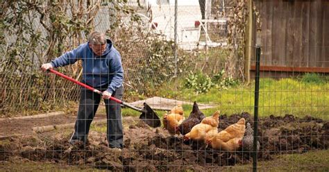 Backyard Chicken Farmer Backyard Chicken Basics Sustainable Farming Earth News