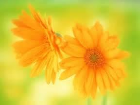 pretty orange flowers for flower lovers daisy flowers hd desktop