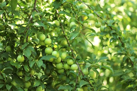 fruit trees garden garden fruit tree leaves unripe plum berries hd wallpaper