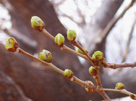 a poem a day day 986 spring buds
