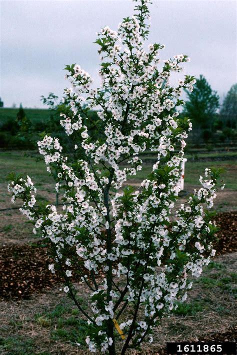 snow goose cherry tree snow goose cherry prunus cv snowgoose rosales