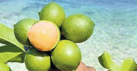 eats lime 10 healthy reasons for you to eat quenepa fruit