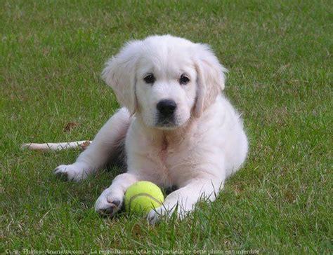 golden retriever bebe 1000 id 233 es sur le th 232 me races de chiens de taille moyenne sur chiens de