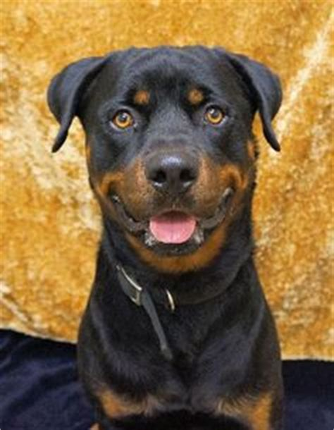 1000 images about rottweiler on pinterest walking nutritional 1000 images about rotties for adoption on pinterest