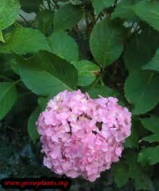 hydrangea macrophylla growing grow plants