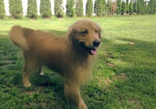 golden retriever puppies new hshire akc golden pups golden retriever puppies new hshire