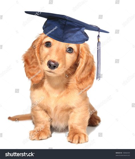 puppy graduation miniature dachshund puppy wearing mortar board stock photo 10006459
