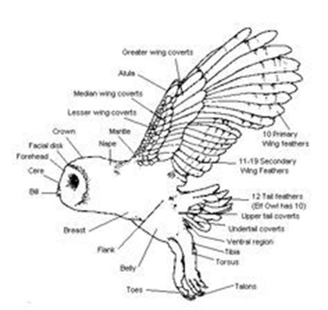 snowy owl diagram 13 best images about wing references on