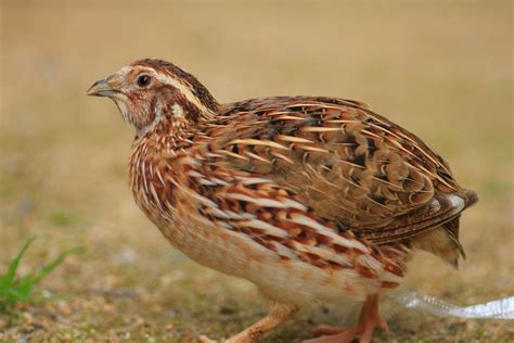 pharaoh coturnix quail chicks for sale cackle hatchery