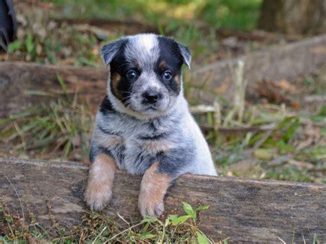 akc dogs australian cattle for sale by wayout australian cattle dogs american kennel club