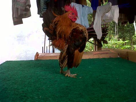 Jual Bibit Ayam Cemani Asli jual kalkun jualayamkalkun