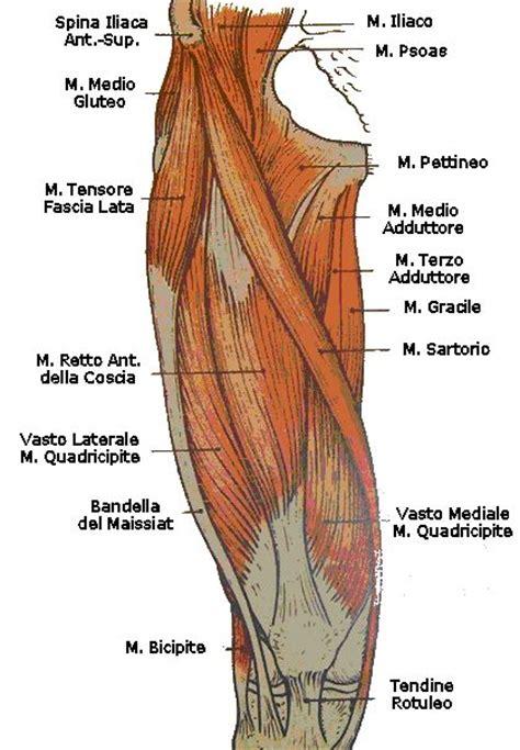 dolore muscolo interno coscia pubalgia una patologia in continuo aumento fra i