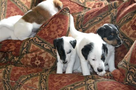 smooth fox terrier puppies for sale kc registered pedigree smooth fox terrier puppies stratford upon avon warwickshire