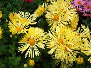 can fall mums survive frost when to plant mums plant mums in overwintering mums the farmer s almanac