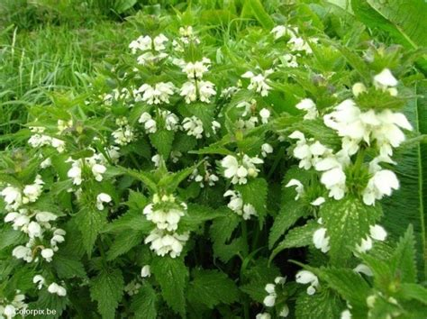 white stinging nettles beautiful but deadly plants