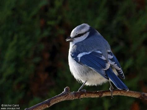 17 best images about birds azure tit on pinterest