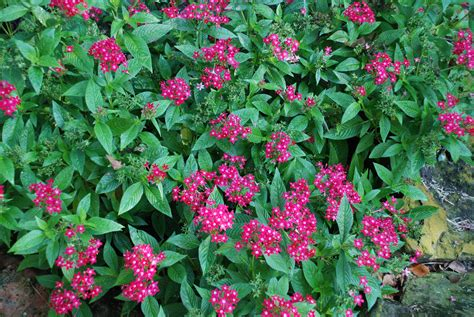 hummingbird bush automatic gardening real gluten free food