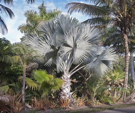 planting fan palm trees guide to planting bismarck palm trees how to care for a