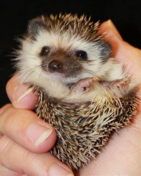 cute baby hedgehog smiling beautiful hedgehog babies wave avenue
