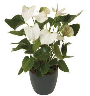 anthurium indoor plants plants garden