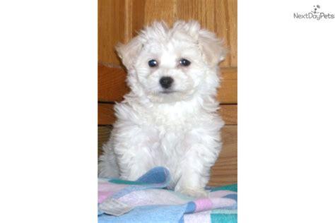 bichon frise puppies for sale in michigan bichon frise puppy for sale near battle creek michigan e8ad4fb8 0941