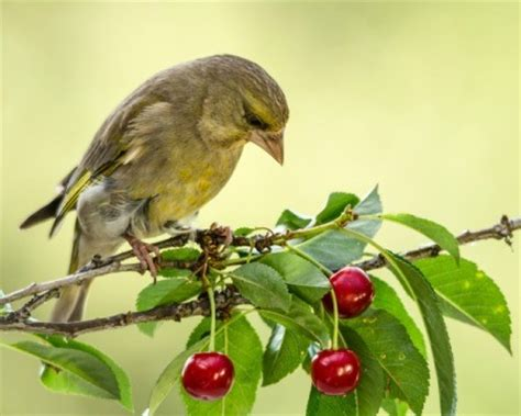keep birds out of fruit trees protecting fruit trees from birds thriftyfun