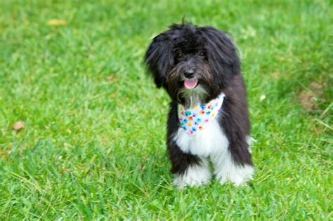 haircuts for havanese 1000 images about havanese on dogs puppys and abyssinian cat