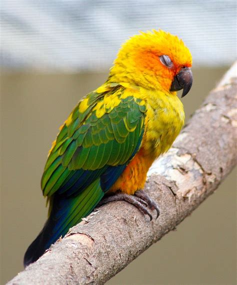 sun conure facts behavior as pets care feeding pictures singing wings aviary