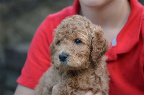 newfiedoodle puppies crockett doodles