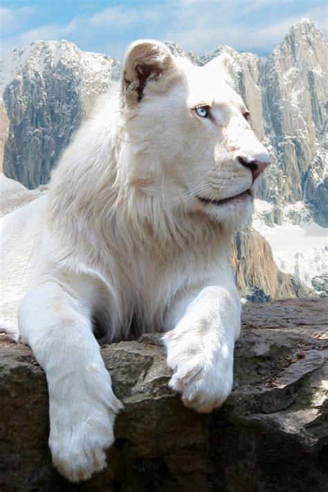 imagenes leon blanco fotos 134 best fotos de animales images on pinterest animal