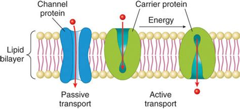 a protein channel is a transport protein that proteins