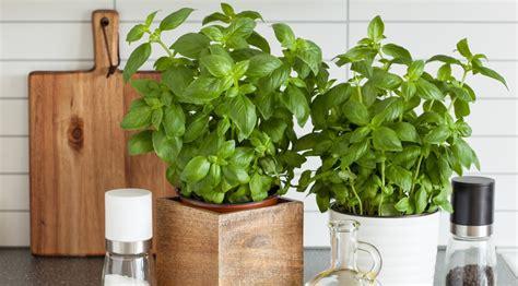 les herbes aromatiques en cuisine comment faire pousser ses plantes aromatiques dans sa