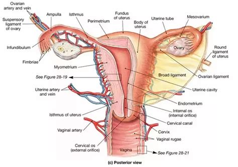 Layer Of Endometrium Shed During Menstruation by What Is The Difference Between Pregnancy Cring And