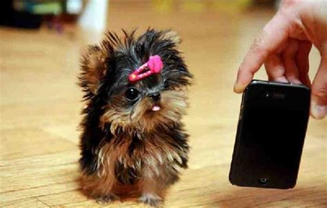how much do teacup yorkies weigh yorkie size