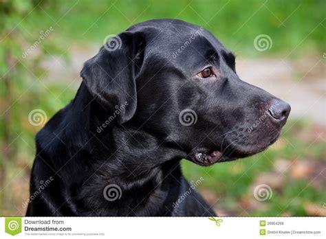 black lab puppies for free black labrador retriever royalty free stock photos image 26904268