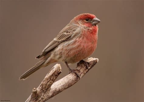 what does a house finch eat birds in my backyard but no hummers oklahoma shooters