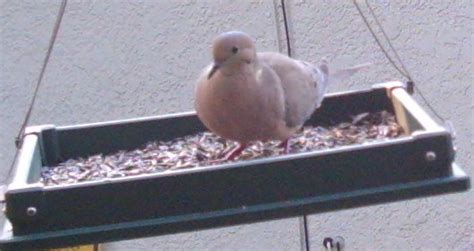 doves and house finches at birding depot s bird feeder