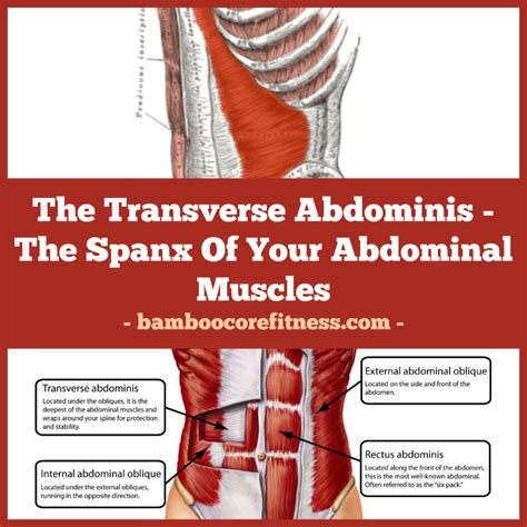 the transverse abdominis the spanx of your abdominal muscles bamboocore fitness
