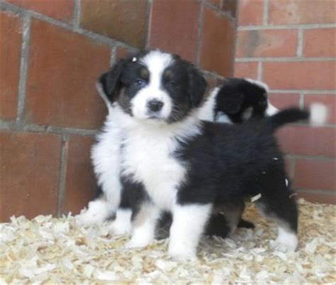 honden pups advertenties honden pups te koop vinden of dieren australische herder pups te koop advertenties com