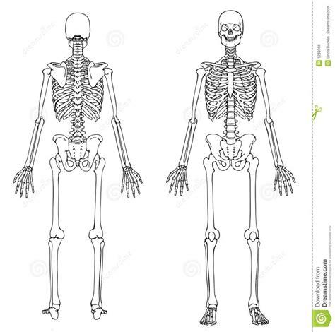 pelvis esqueleto humano frente cibertareas las 25 mejores ideas sobre partes del esqueleto humano en