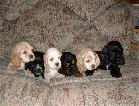 cocker spaniel puppies for sale in sc akc cocker spaniel puppies for sale adoption from sumter south carolina adpost