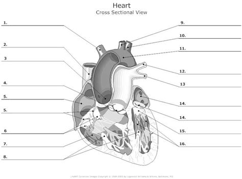 heart cross section diagram 25 best ideas about heart anatomy on pinterest diagram