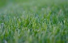 how to grow couch grass love your lawn on pinterest drought tolerant