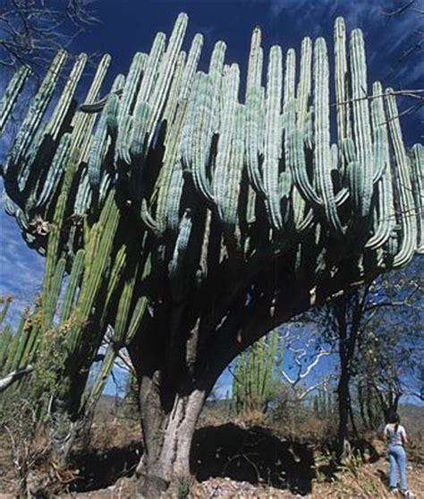 cactus candelabro de huautla